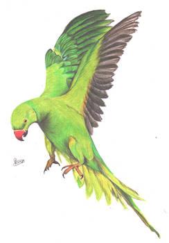 Greeny parrot