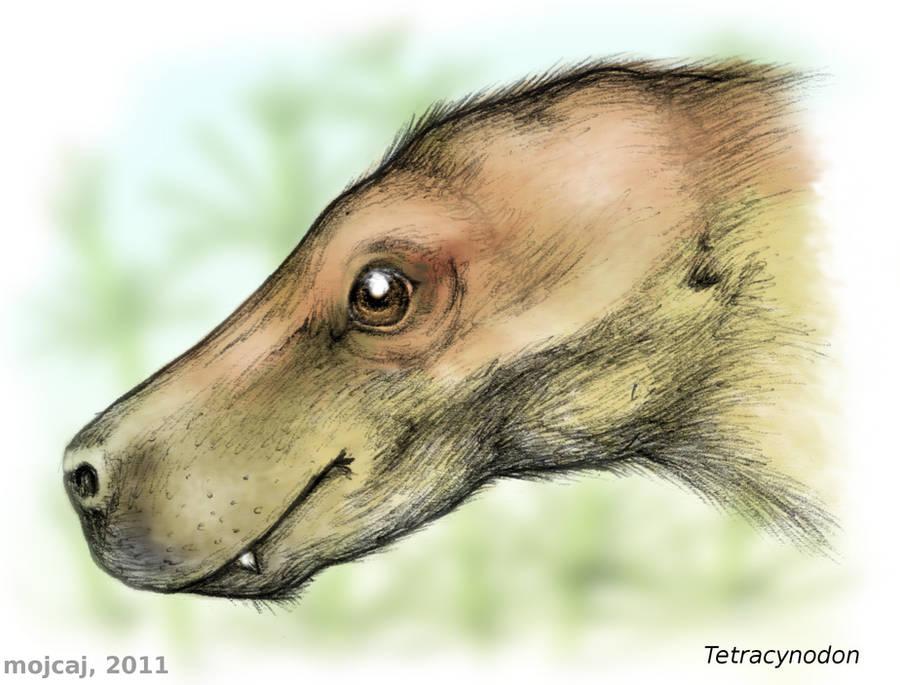 Tetracynodon, a small therocephalian by mojcaj
