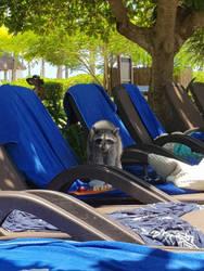 raccoon  by observerthe