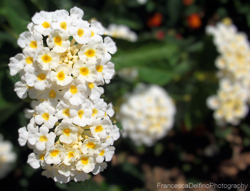 White and yellow flowers by francescadelfino on deviantart white and yellow flowers by francescadelfino mightylinksfo
