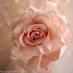 Rose and bokeh