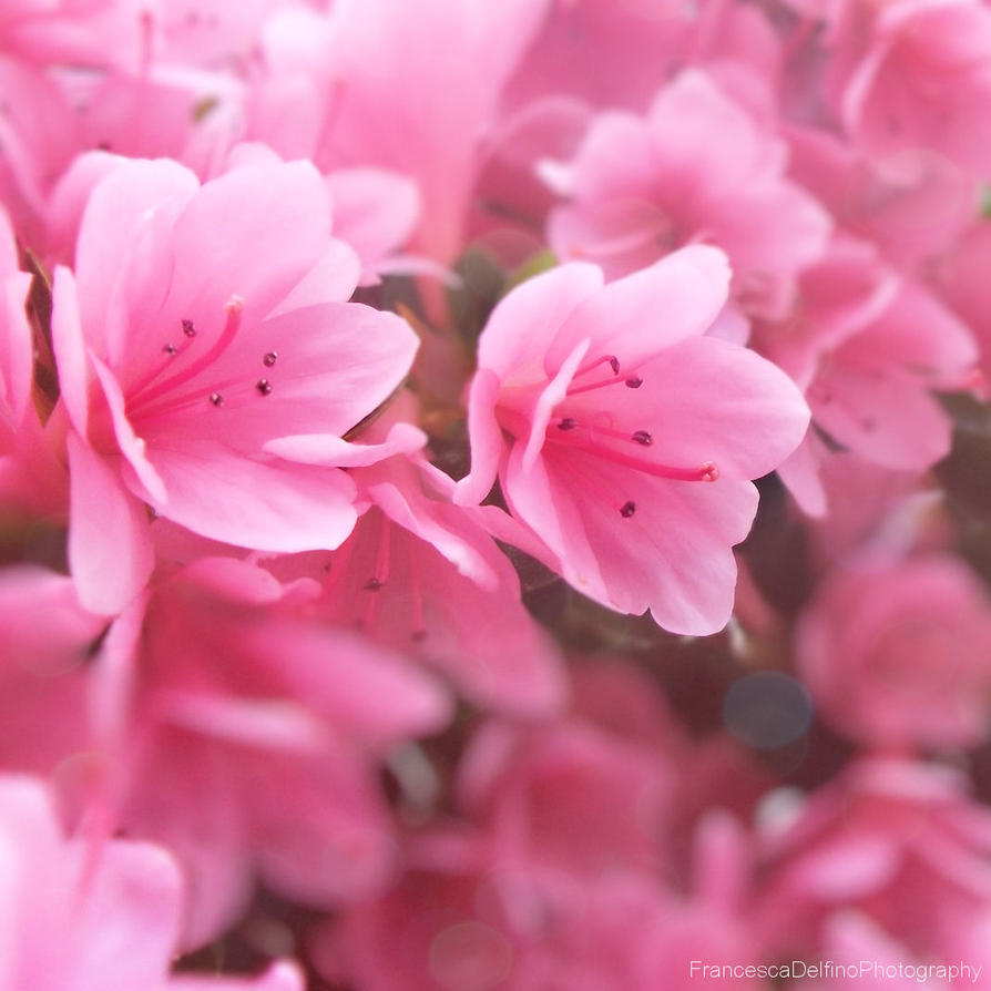 Little Pink Flowers I By Francescadelfino On Deviantart
