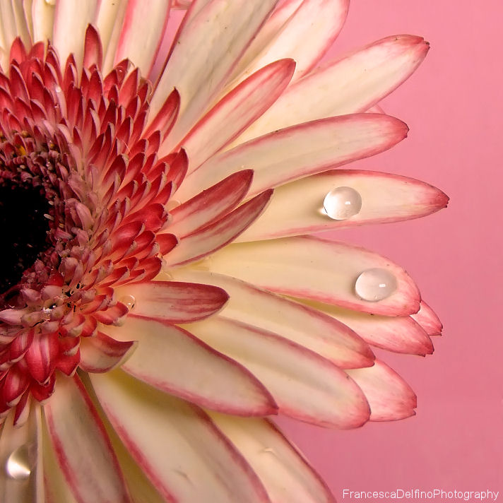 Gerbera with drops by FrancescaDelfino