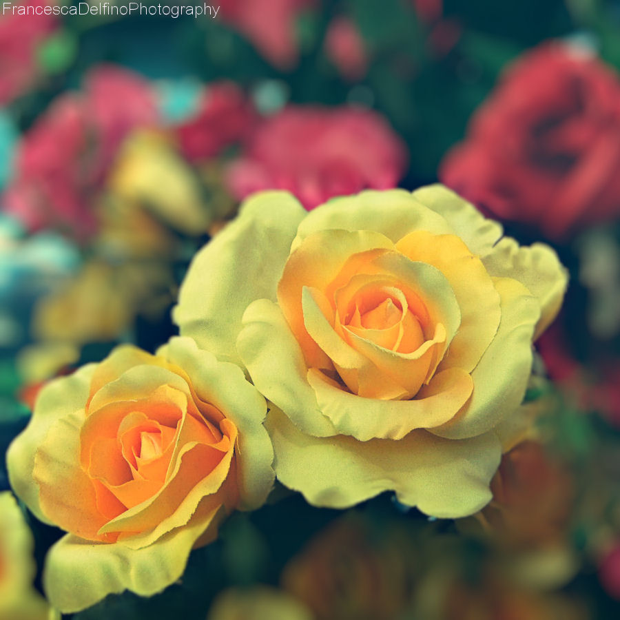Yellow roses by FrancescaDelfino