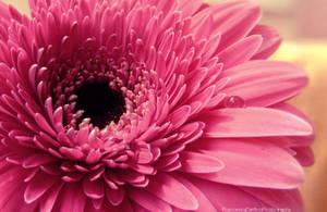 Pink gerbera with a drop by FrancescaDelfino