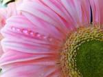 Pink gerbera and drops 2