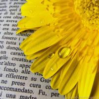 Yellow gerbera with drops 1 by FrancescaDelfino