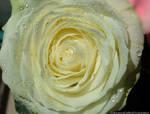 Delicate White Rose (Color Version)