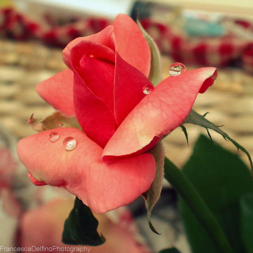 Drops on rose 2 by FrancescaDelfino
