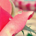 Drops on rose 3