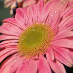 Water drops on pink gerbera