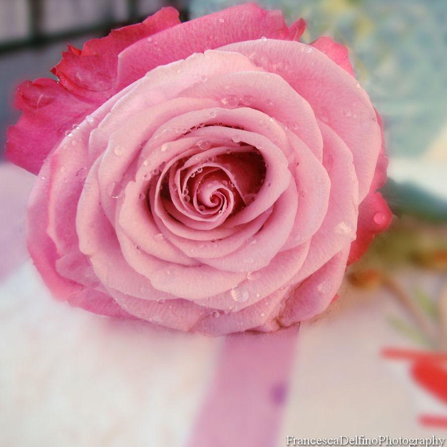 Pink rose 2 by FrancescaDelfino