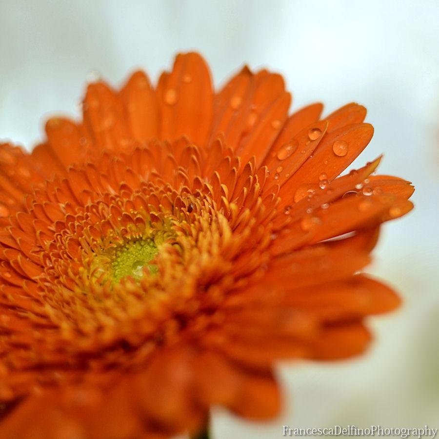 Orange gerbera and water drops by FrancescaDelfino