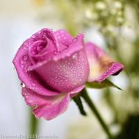 Pink rose Original version by FrancescaDelfino