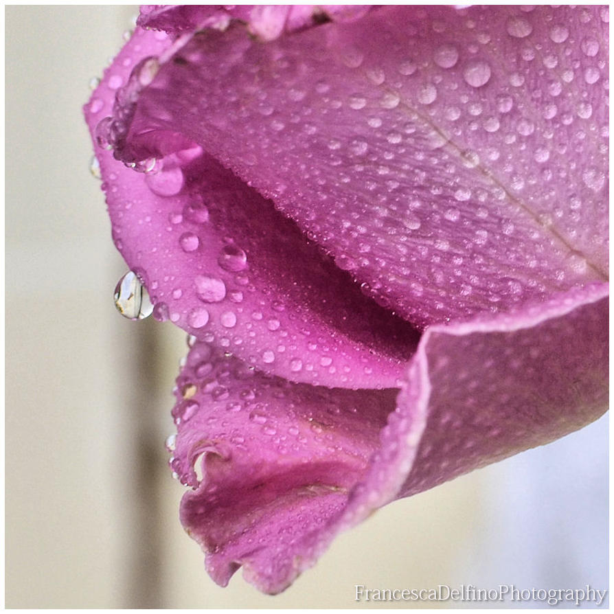 Rose and drops 2 by FrancescaDelfino