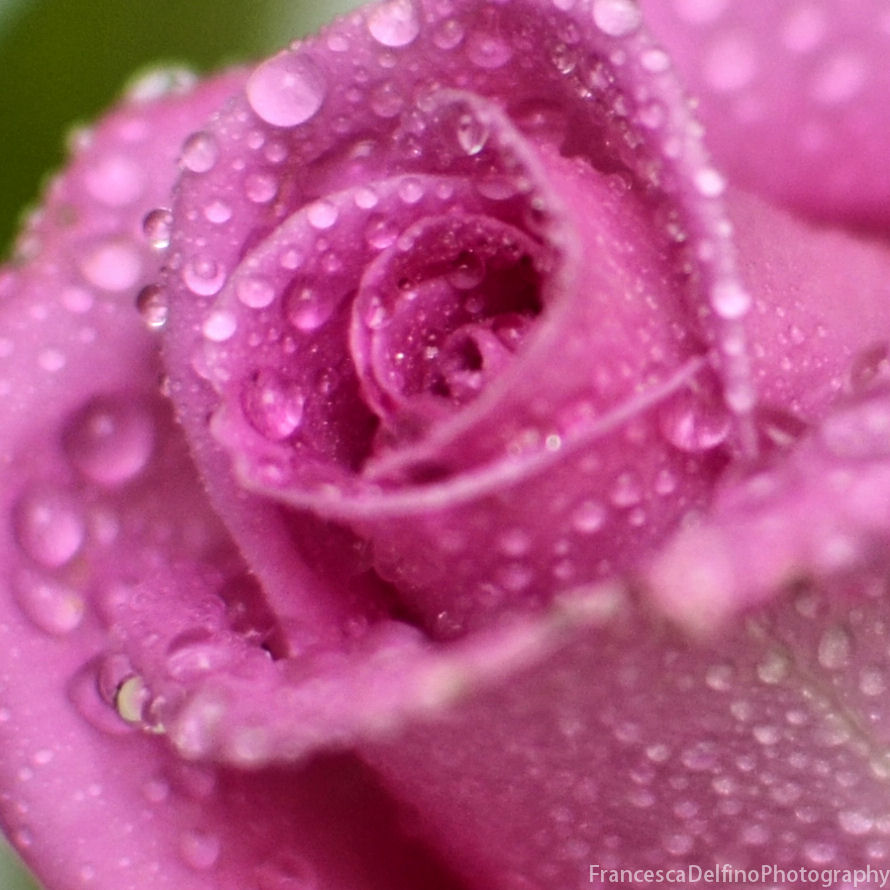 Pink Rose And Drops 3 By Francescadelfino On Deviantart