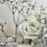 Softness white rose by FrancescaDelfino