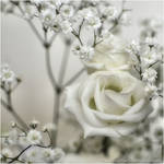 Softness white rose