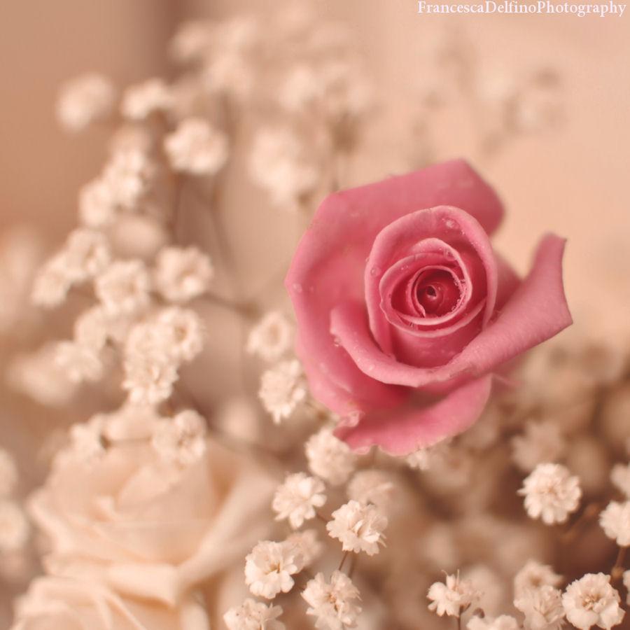 Softness pink rose by FrancescaDelfino