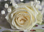 White rose with water drops 2