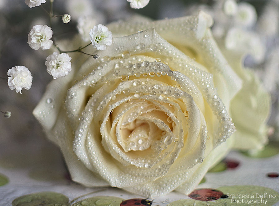 White rose with water drops 2 by =FrancescaDelfino