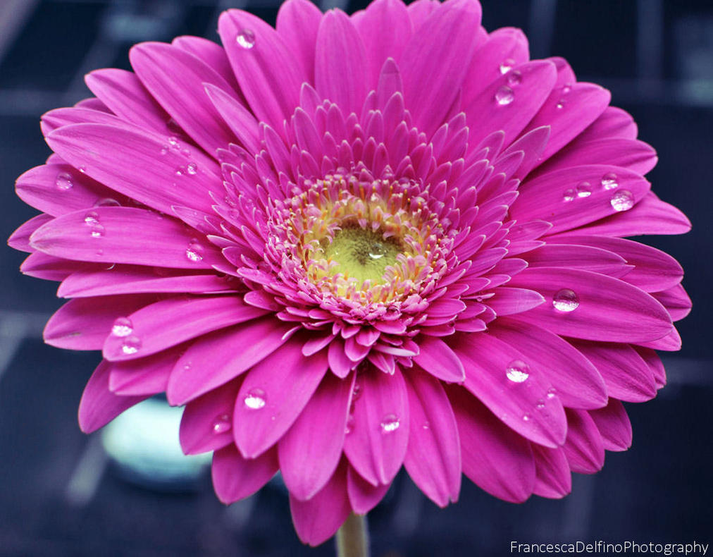 Drops on the pink gerbera by FrancescaDelfino