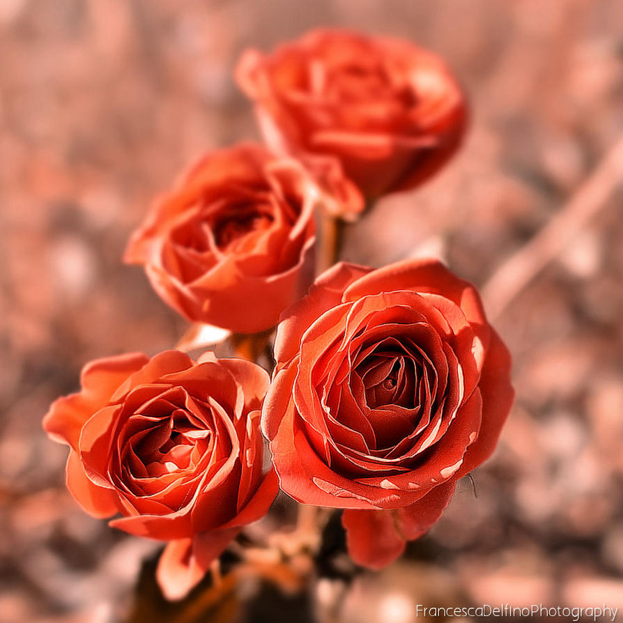 Romantic roses by FrancescaDelfino