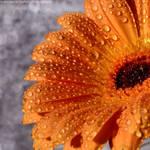 Orange gerbera with water droplets