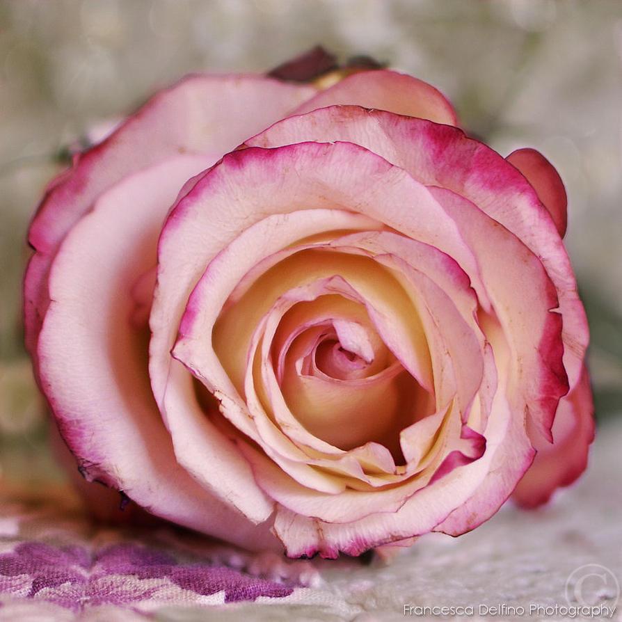 Suloinen ruusu 1 by FrancescaDelfino