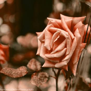Old rose by FrancescaDelfino