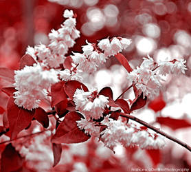 Tree with white flowers by FrancescaDelfino
