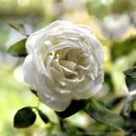 White rose and bokeh