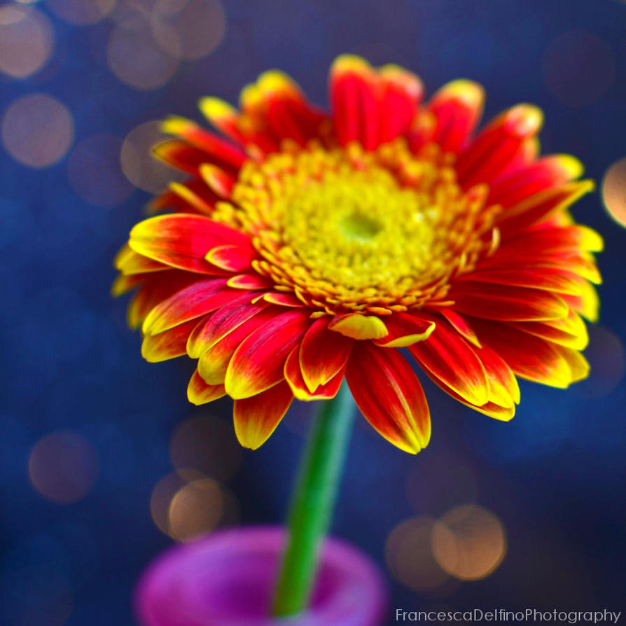 A burst of colours on the Gerbera by FrancescaDelfino