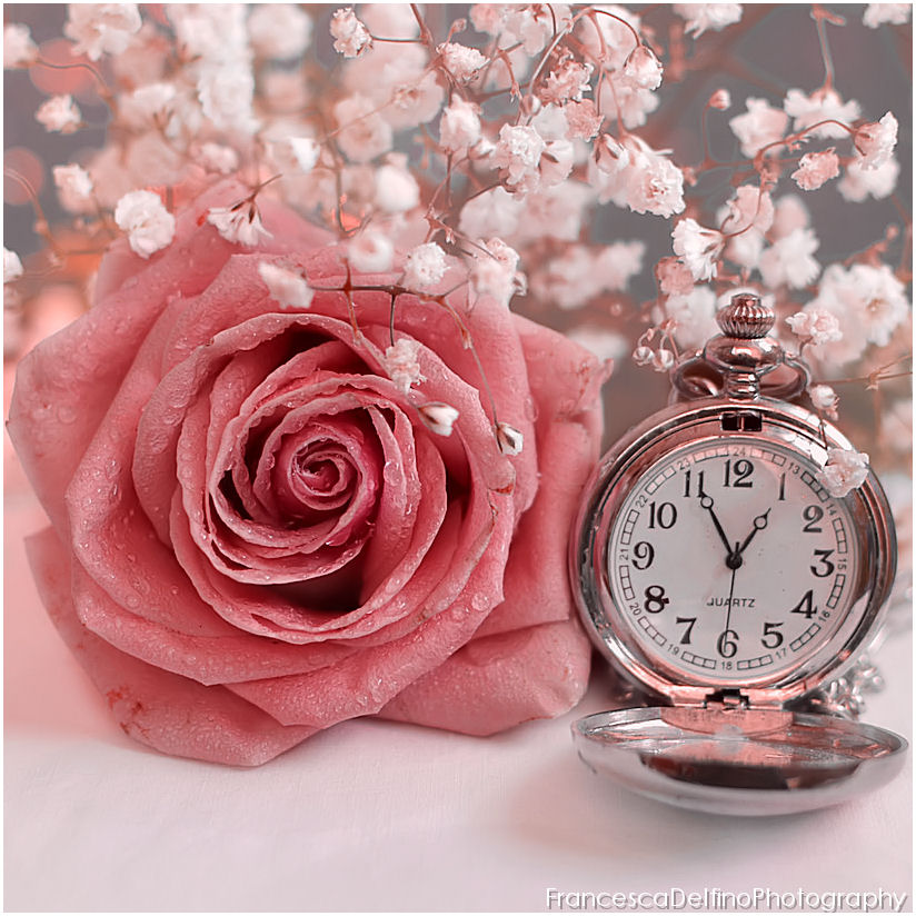 Timeless rose by FrancescaDelfino