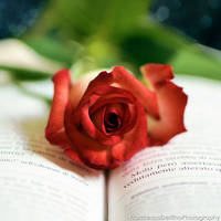 Red rose 3 by FrancescaDelfino