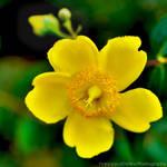 Keltainen kukka ..:Cinquefoglia fior d'oro:..