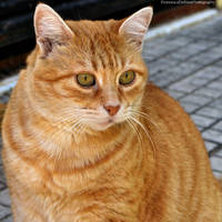 Orange cat 4 by FrancescaDelfino