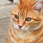 Orange cat 5