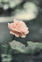 The rose by FrancescaDelfino