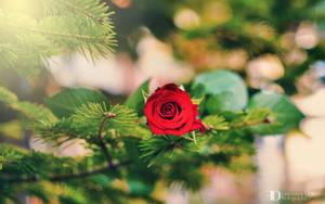 Rose II by FrancescaDelfino
