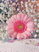 Pink Gerbera by FrancescaDelfino
