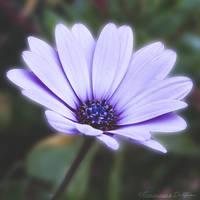 Purple flower by FrancescaDelfino