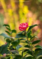 66. Red camellia