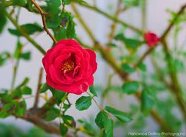 74. Lonely rose by FrancescaDelfino