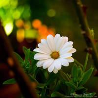 White flower by FrancescaDelfino