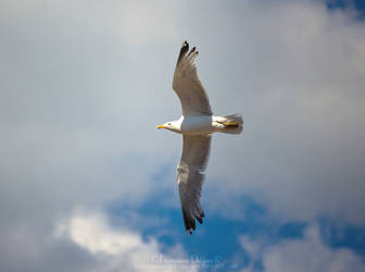 Seagull VII by FrancescaDelfino