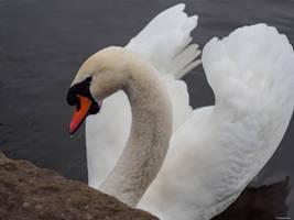 Swan by Silberblau