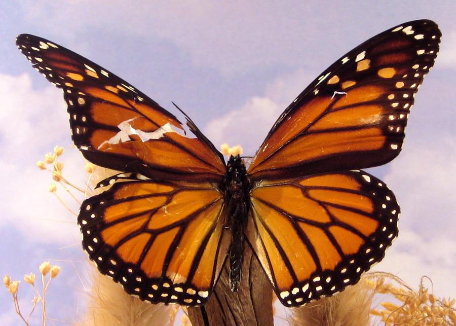 Butterfly Torn Wing wallpaper