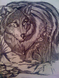 Wolf in the Wilderness