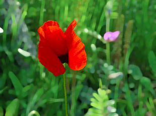 Poppy in Corsica ... animated gif by Silana2a